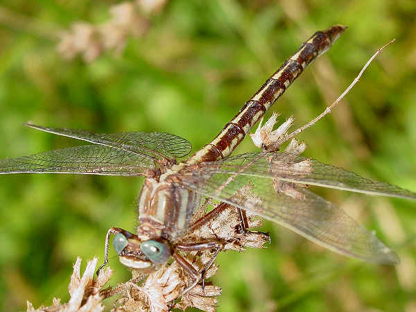 picture of an Ashy Clubtail. Credit Pondhawk Flickr