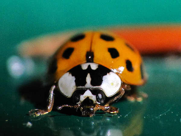 composite picture of an Asian ladybeetle, for the types of ladybugs collection