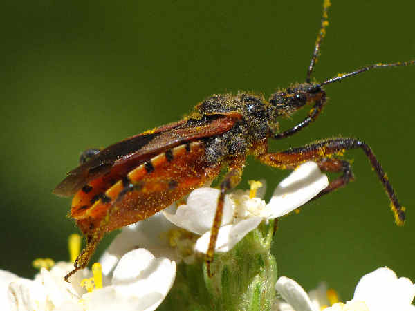 picture of a pair an assassin bug