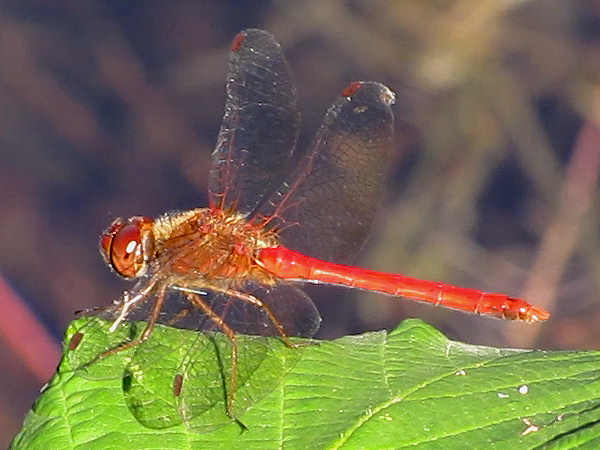 picture of a Autumn Meadowhawk dragonfly, part of the Meadowhawk Dragonfly pictures series