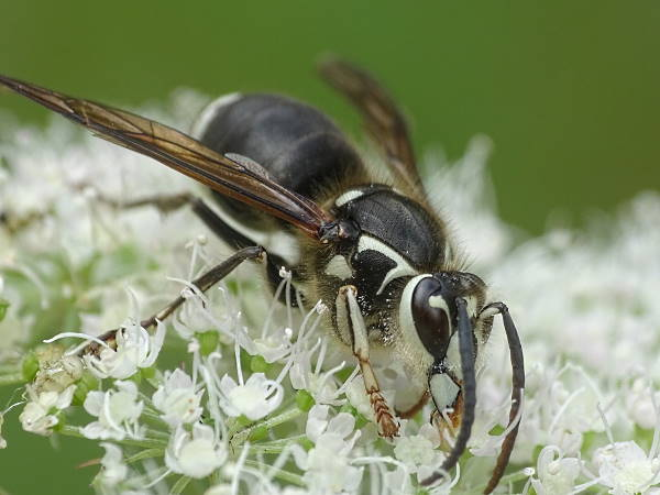 picture of a Bald-faced-hornet, Texas Wasps