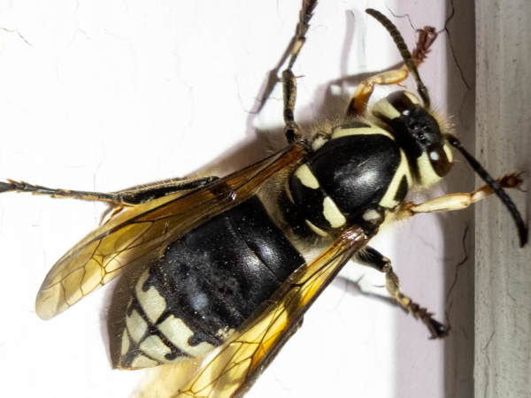 Bald-faced Hornet, yellowjacket pictures