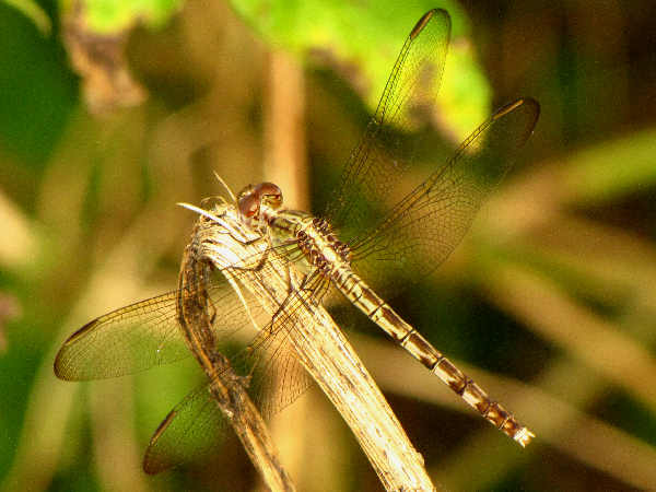 picture of a female Band-winged Dragonlet dragonfly