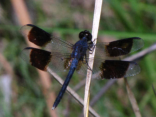 picture of a male Band-winged Dragonlet dragonfly
