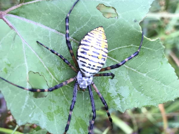 picture of a Banded Garden Spider