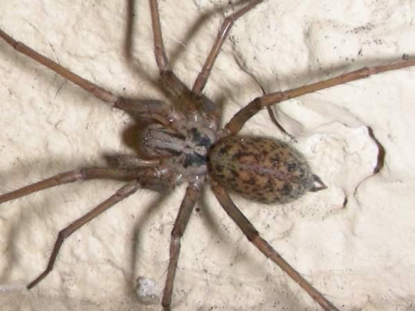 picture of a Barn Funnel Weaver (Tegenaria domestica), Nebraska spiders
