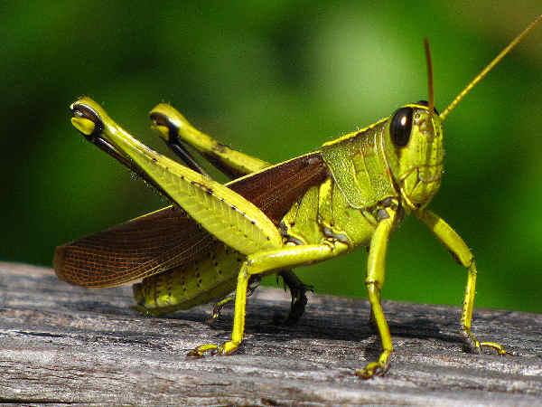 picture of a bird grasshopper