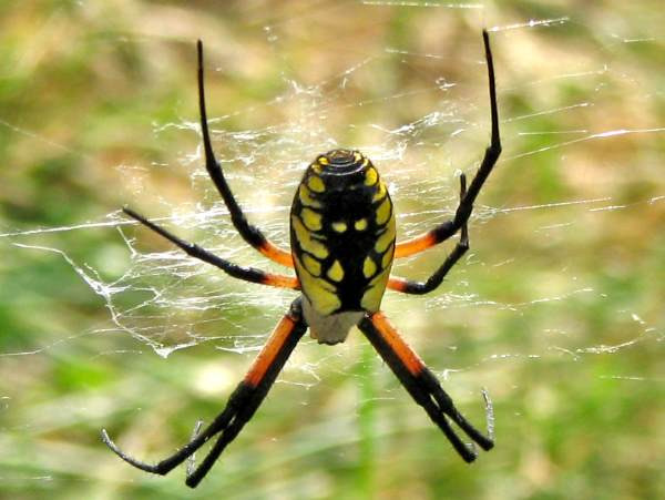 picture of a black and yellow garden spider, part of the Oklahoma spiders series
