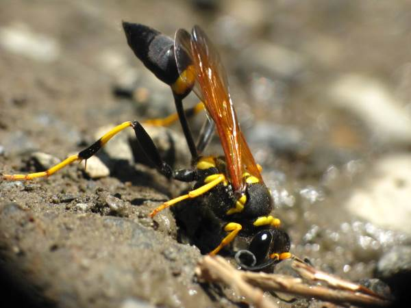 picture of a Yellow Mud Dauber, Florida wasps collection