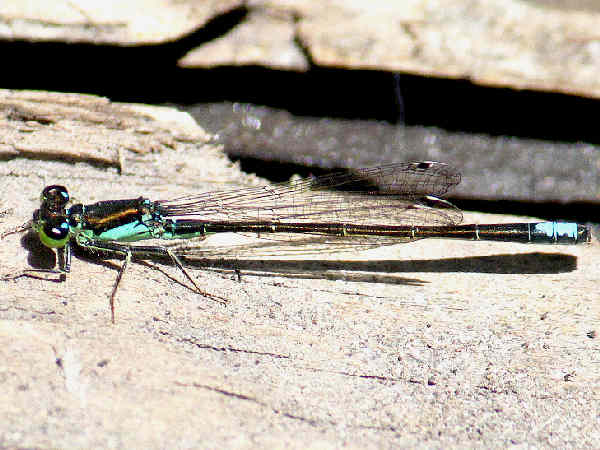 picture of a Black-fronted Forktail damselfly