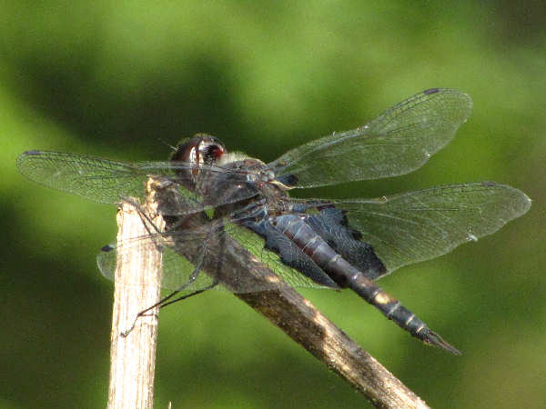 picture of a Saddlebags dragonfly