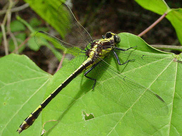 picture of a Black-shouldered Spinylegs. Credit: Pondhawk, Flickr