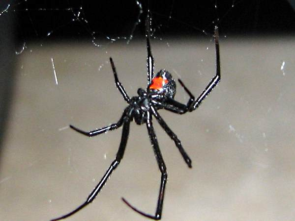 picture of a black widow spider