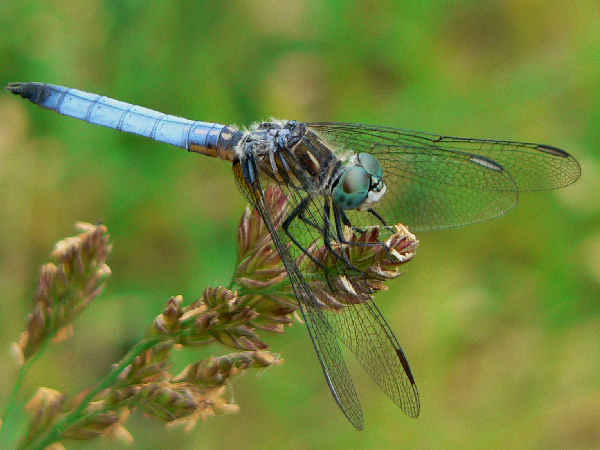 picture of a male Blue Dasher dragonfly