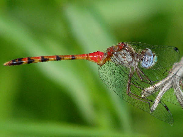 picture of a Blue-faced Meadowhawk dragonfly, credit Kerry Wixted Flickr