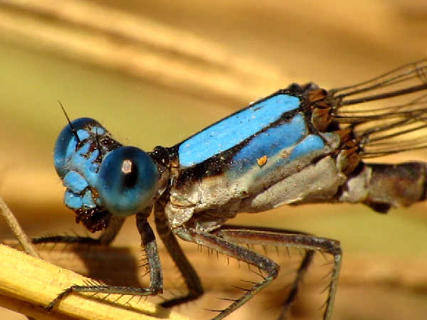 picture of a Blue-fronted Dancer damselfly, one of about three dozen types of damselflies in the Dancer genera