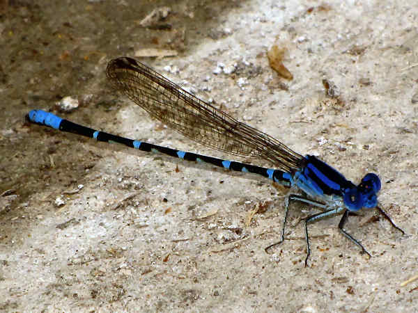 picture of a Blue-ringed Dancer damselfly