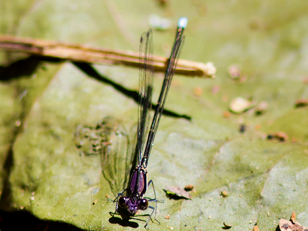 picture of a Blue-tipped damselfly. Credit: Melissa Mcmasters, Flickr