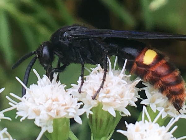 picture of a Blue-winged Scoliid Wasp