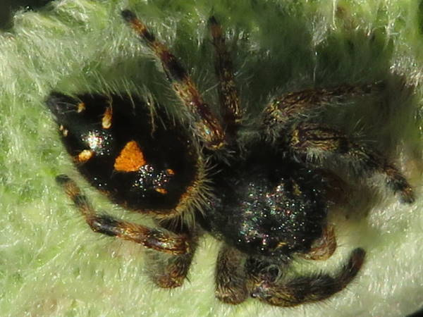 picture of an immature Bold Jumping spider