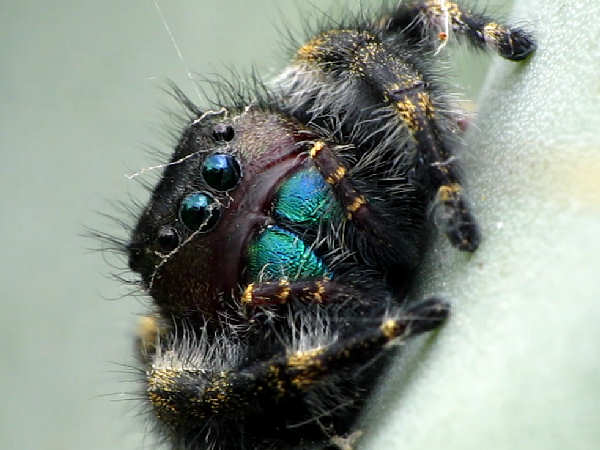 picture of a male bold jumping spider