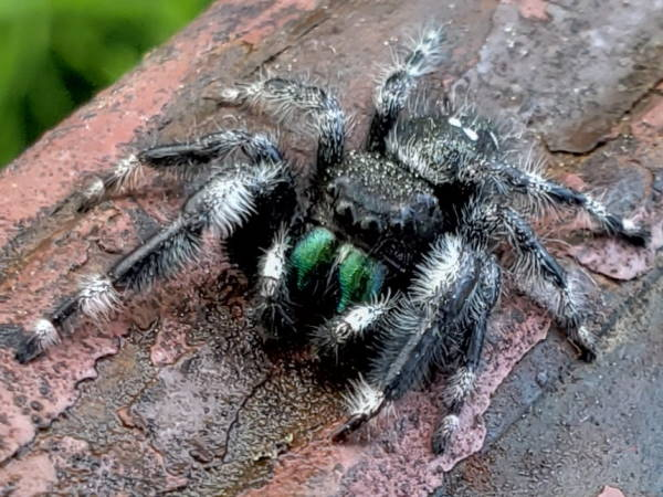 picture of a Bold Jumping spider