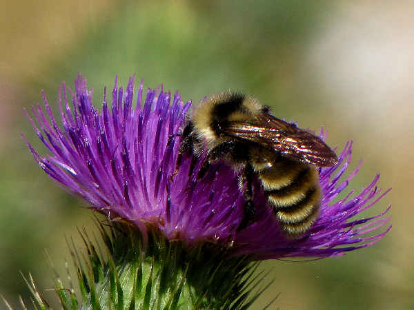 picture of a bumblebee, bombus appositus