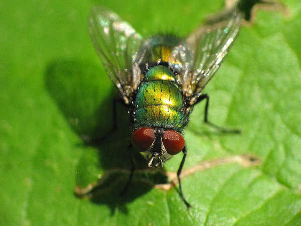 picture of a bottle fly one of the common types of house flies