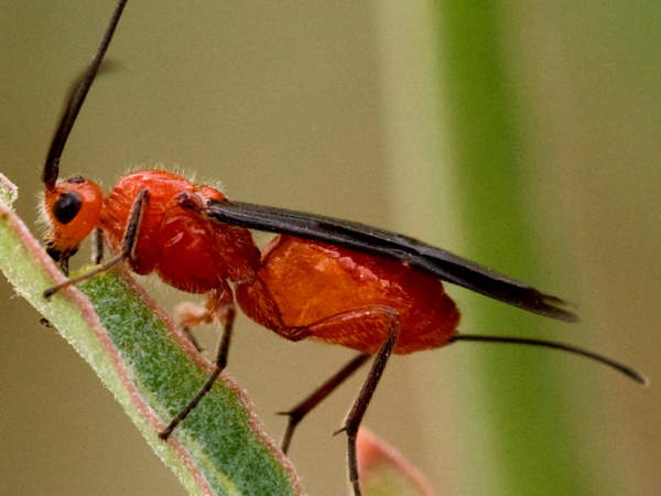 picture of a Braconid wasp, types of wasps
