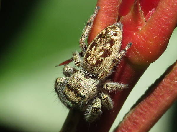 picture of a female bronze jumping spider, Oregon Spiders