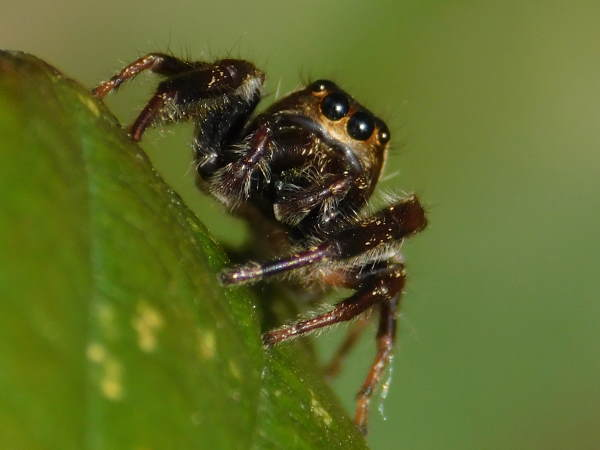 picture of the four eyes of a Bronze Jumping spider, Colorado spiders