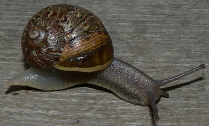 picture of brown garden snail