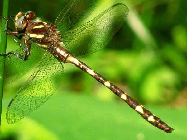 picture of a Brown Spiketail