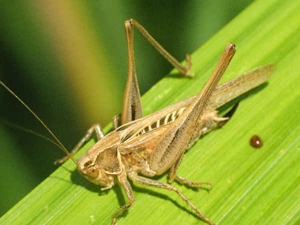 picture of a brown-spotted-bush-cricket, it's really a katydid