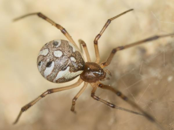 picture of a Brown Widow Spider, Georgia spiders