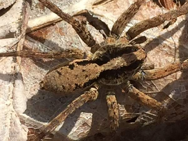 picture of a wolf spider with a brown body