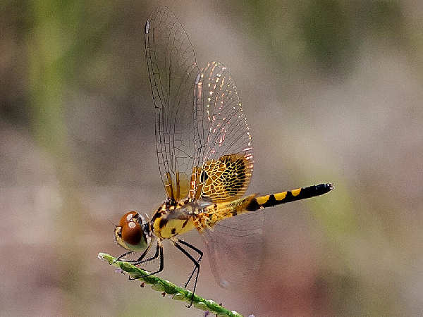 picture of a yellow female Calico Pennant dragonfly, part of the dragonfly identification guide