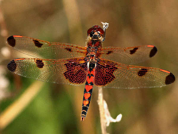 picture of a red male Calico Pennant dragonfly