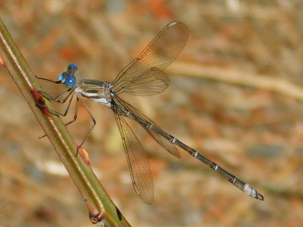 Caliifornia spreadwing, part of the damselfly pictures guide