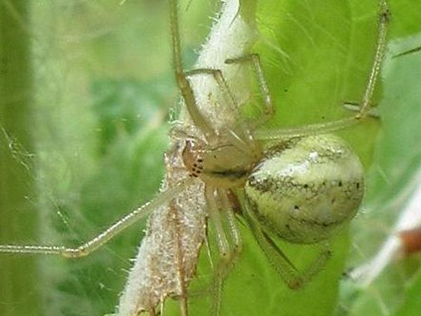 picture of a Cobweb spider, Enoplognatha ovata