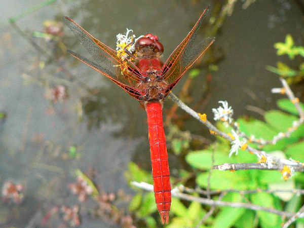 picture of a Cardinal Meadowhawk dragonfly