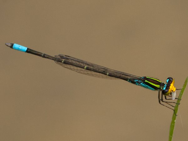 picture of a Caribbean Yellowface, damselfly identification