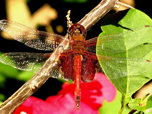 picture of a male Carolina Saddlebags dragonfly