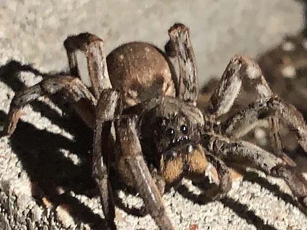 picture of a Carolina Wolf Spider, South Carolina spiders