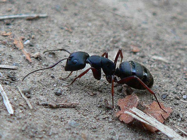 picture of a carpenter ant