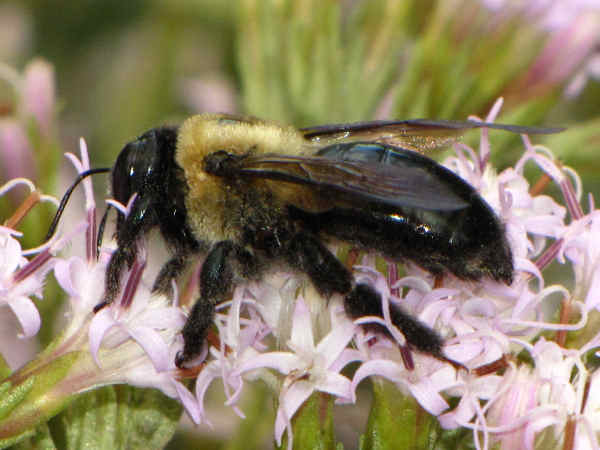 picture of a carpenter bee