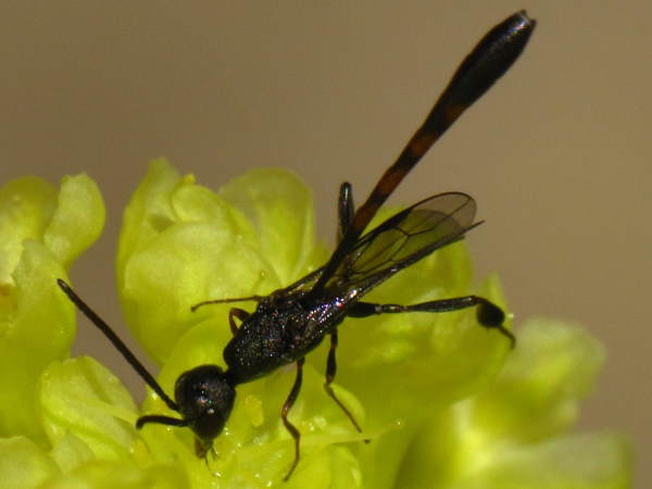 picture of a Carrot Wasp, Oregon wasps