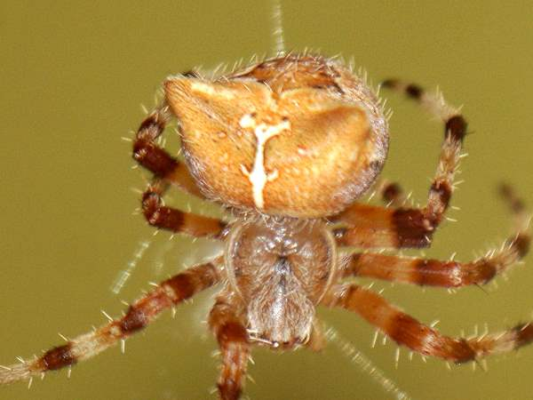 picture of a Cat-faced spider, Colorado spiders