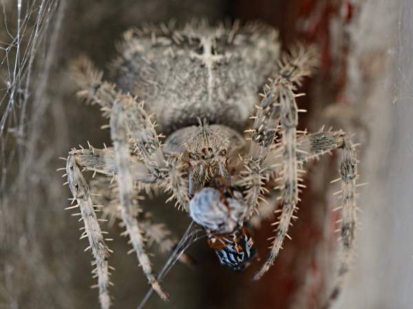 picture of a Cat-faced Spider , credit  ceasol Flickr