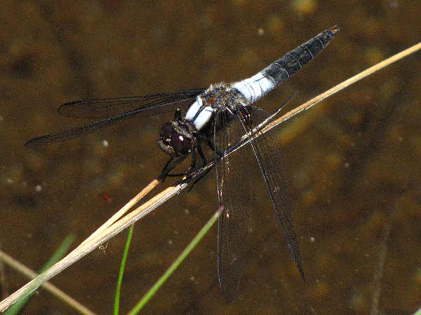 picture of a Chalk-fronted Corporal dragonfly